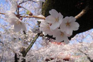 法華経寺の桜が満開でありました