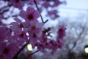 法華経寺の桜が満開でした