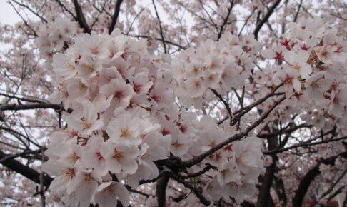 法華経寺の桜が満開