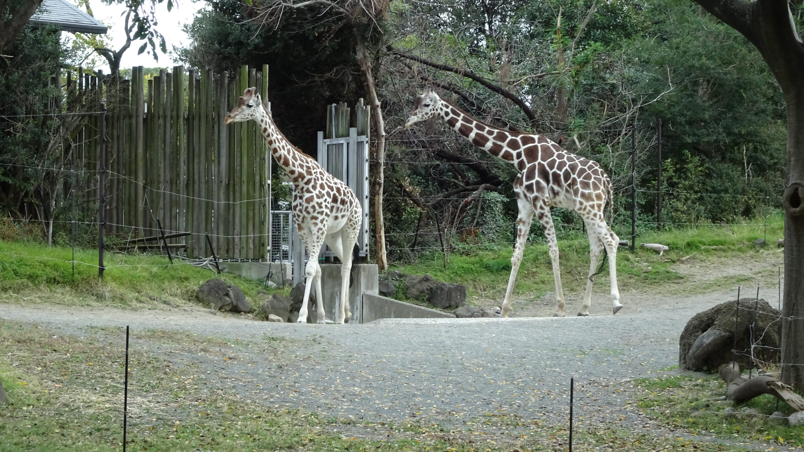 天王寺動物園のキリン