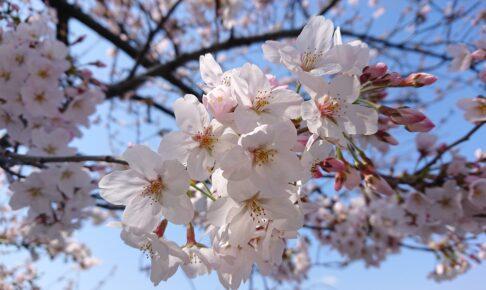 真間川の桜のアップ
