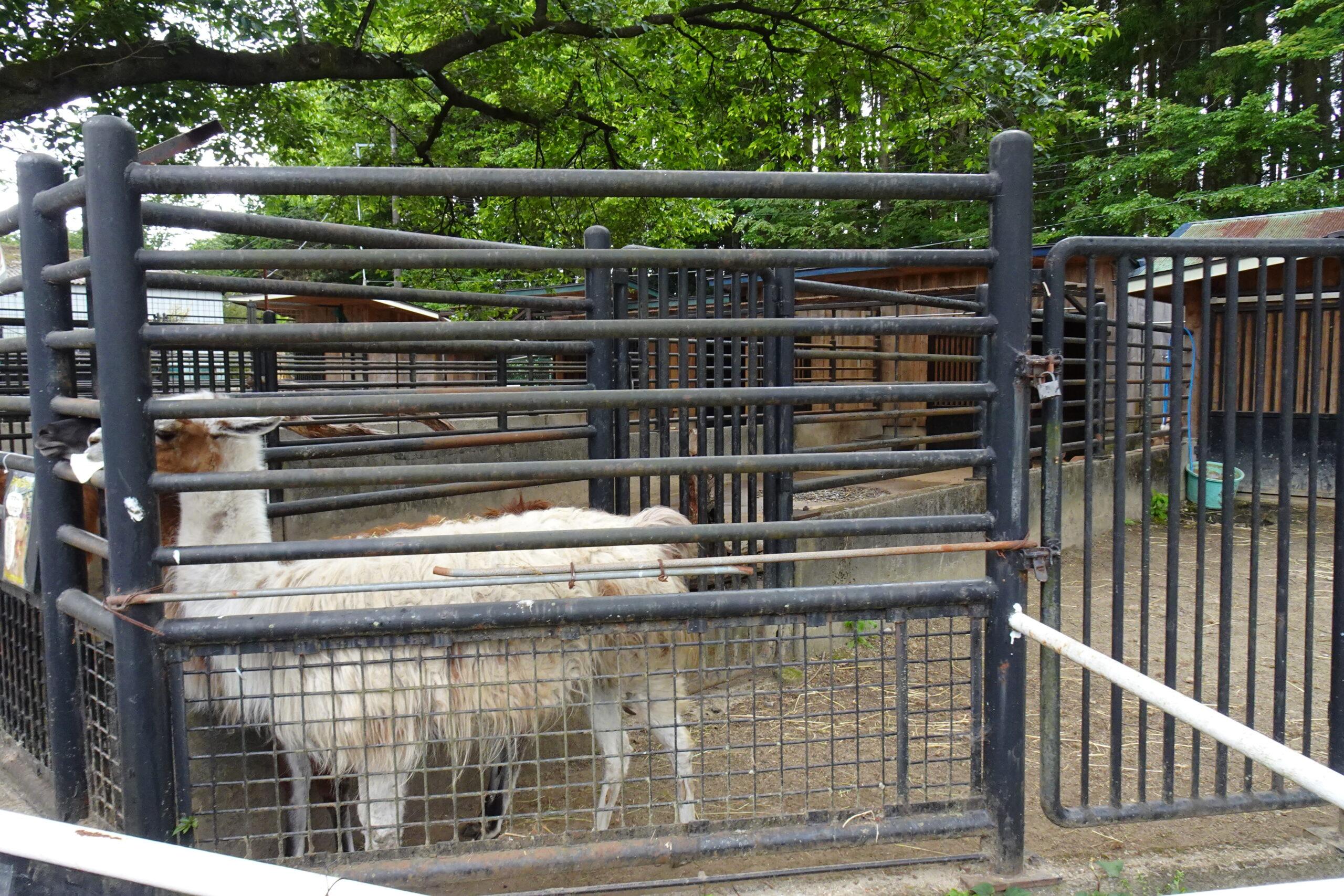 宇都宮動物園のヤギ