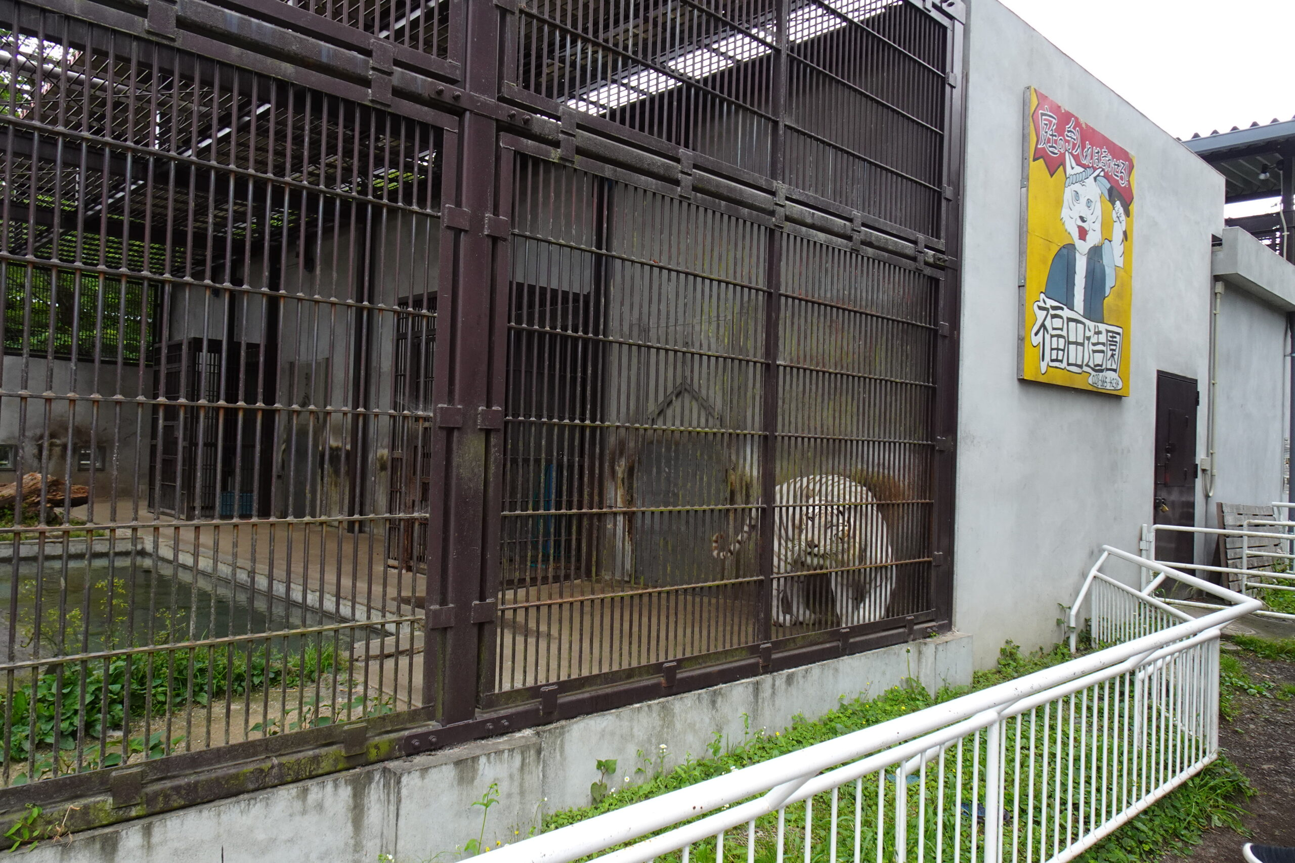 宇都宮動物園のホワイトタイガー