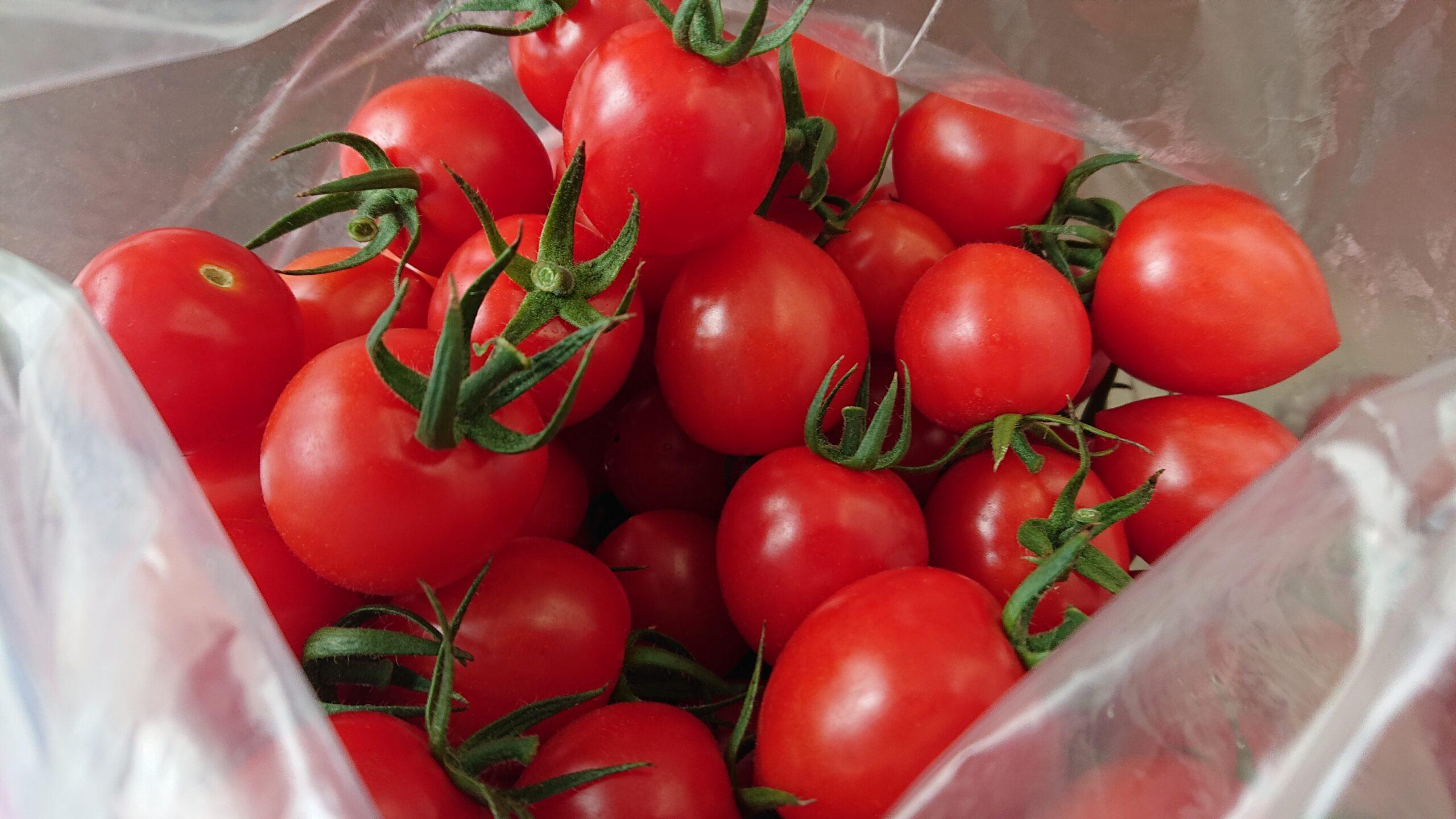 斉藤農園で収穫したミニトマト