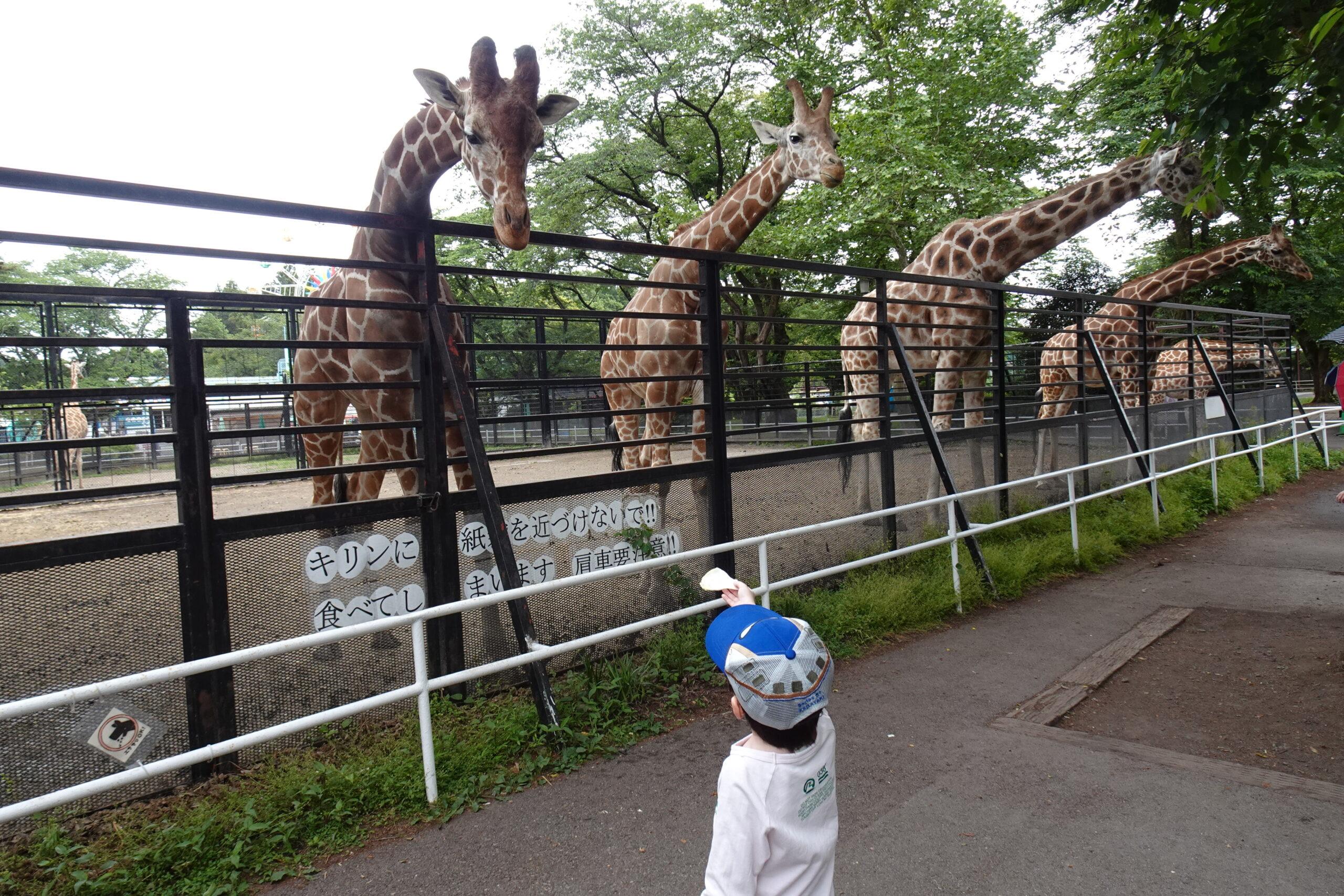 宇都宮動物園ではキリンに餌を直接あげることが出来ます。