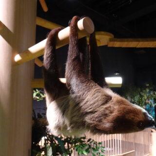 DMMかりゆし水族館のナマケモノは至近距離