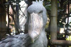 千葉市動物公園のハシビロコウ